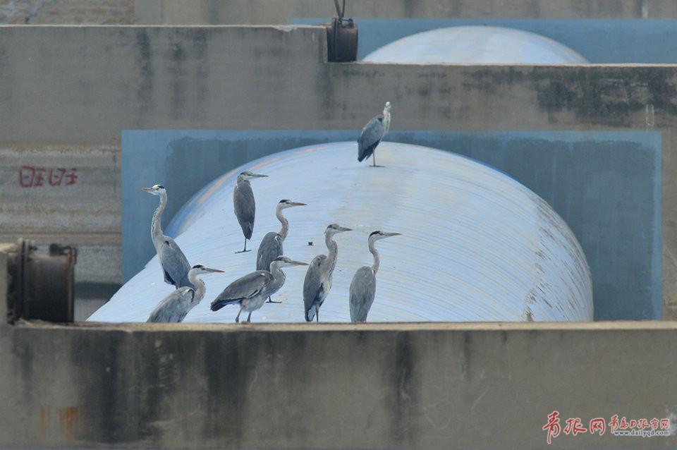 青岛湿地候鸟结群抢秋膘 为争食物领地相互追逐